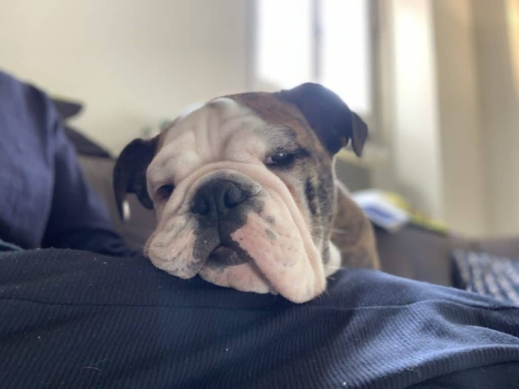 Ollie the bulldogs resting his head and drooling a little.